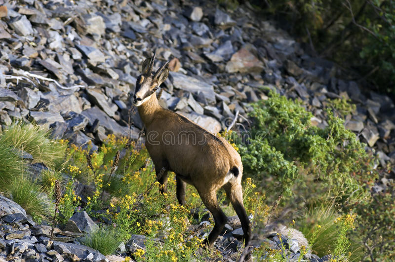 Download Female chamois stock photo. Image of horn, ecrins, wild - 13047094
