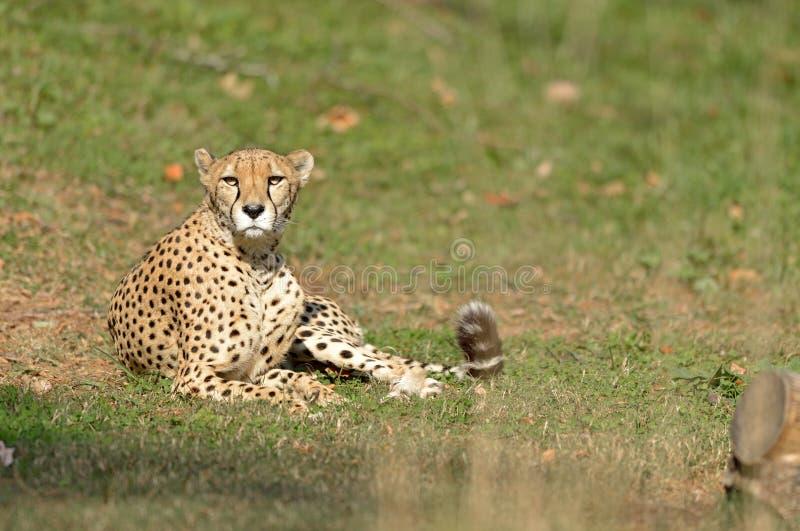 Download Female Cheetah stock photo. Image of tail, animal, laying - 27649806