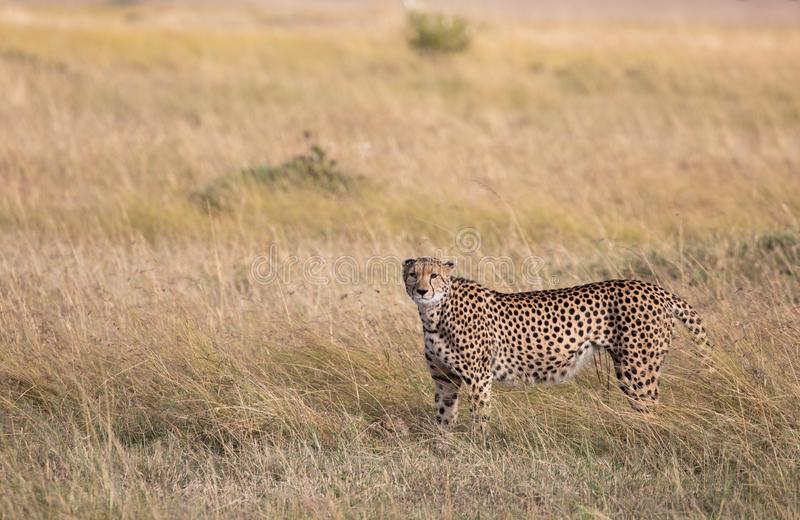 Female cheetah, Acinonyx jubatus, with her cub in the tall grass of the Maasai Mara savannah royalty free stock photography