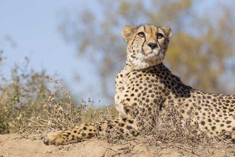 Female Cheetah (Acinonyx jubatus) lying on a termite mound, South Africa royalty free stock photography
