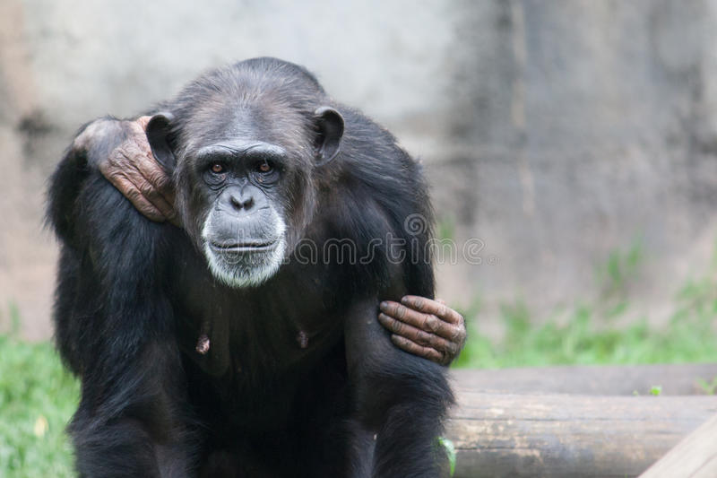 Female chimpanzee portrait looking straight into the camera with her baby chimp chimpanzee cub stock photo