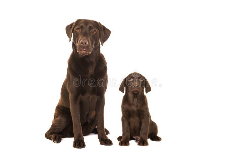 Female chocolate brown labrador retriever dog sitting looking surprised. Female chocolate brown labrador retriever dog sitting next to a chocolate brown labrador royalty free stock photography