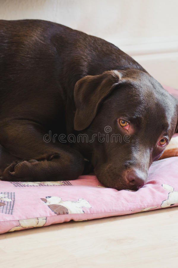 Female chocolate labrador sleeping. Brown chocolate labrador laying on its bed, dog in a pink bed stock photography
