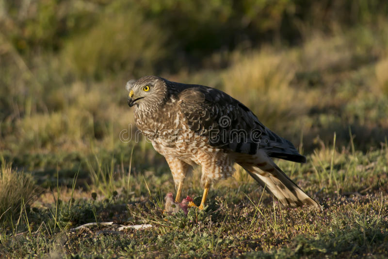 Female Cinereous Harrier with a Prey royalty free stock photos