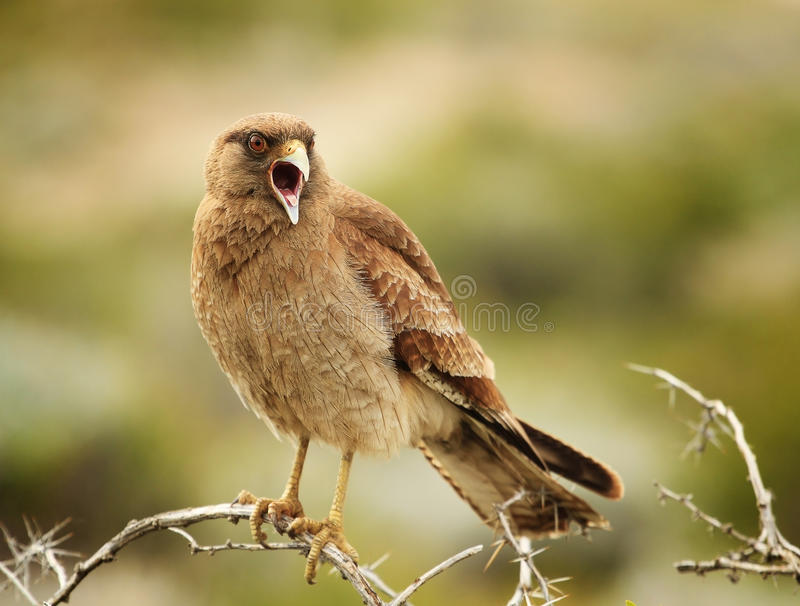 Female cinereous harrier royalty free stock photos