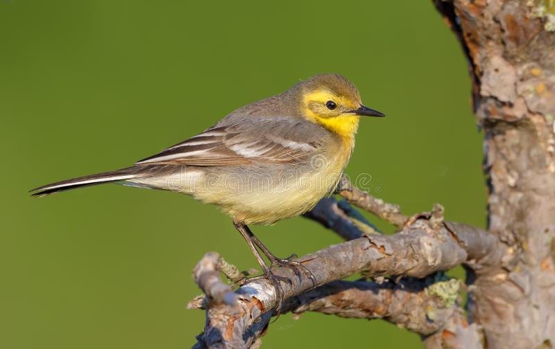 Female Citrine wagtail in spring plumage perched on small branch in marsh habitat. Female Citrine wagtail in spring plumage perched on small branch with green stock photography