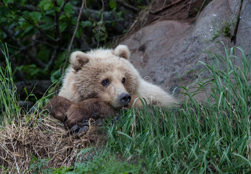 Female coastal brown bear resting in the grass royalty free stock photos