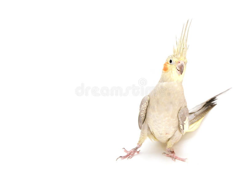 Female Cockatiel stock photography