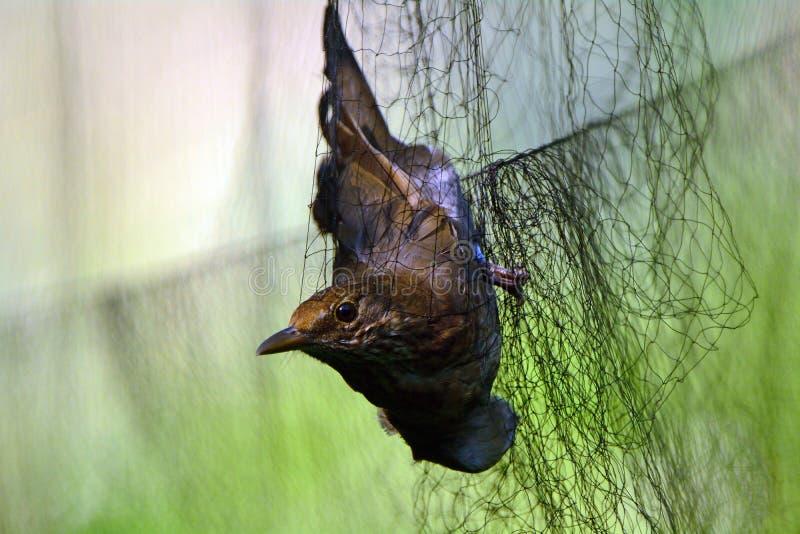 Female common blackbird Turdus merula stock photography
