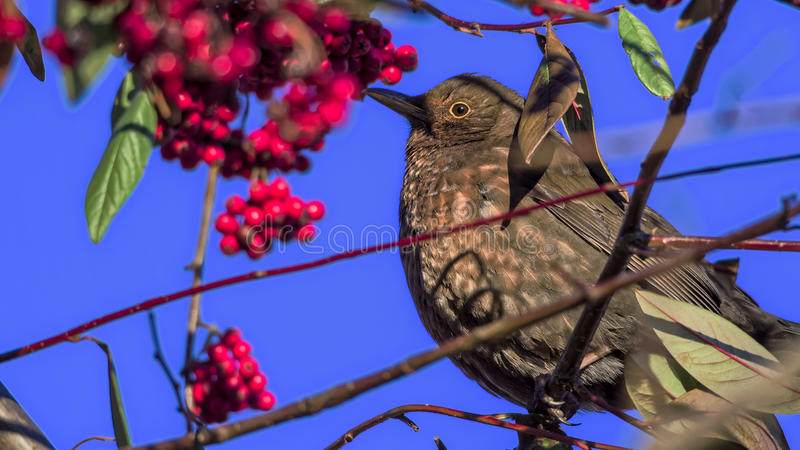 Female common blackbird (Turdus merula) with red berries royalty free stock photo