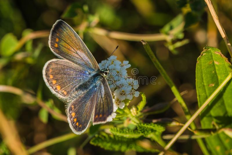 Female of common blue butterfly on grass royalty free stock image
