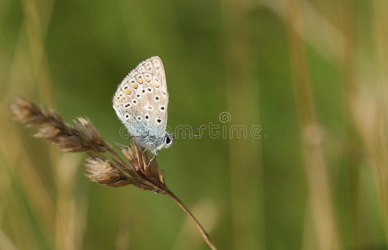 A female Common Blue Butterfly Polyommatus icarus perched on a grass seed head. A pretty female Common Blue Butterfly Polyommatus icarus perched on a grass seed royalty free stock photo