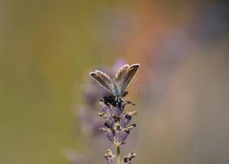 Female Common Blue Butterfly Polyommatus icarus a Thistle. A common blue butterfly  on a lavender flower in a wild flower meadow in the Uk in August stock image