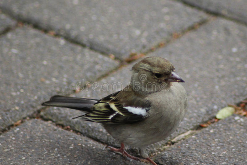 Female common chaffinch stock photos