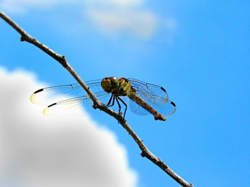 Female Common Chaser Dragonfly. Bottom-up view of a female Common Chaser Dragonfly, Potamarcha Congener, resting on a dead branch. This dragonfly is also stock image