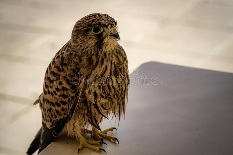 Common kestrel sitting on a table stock image