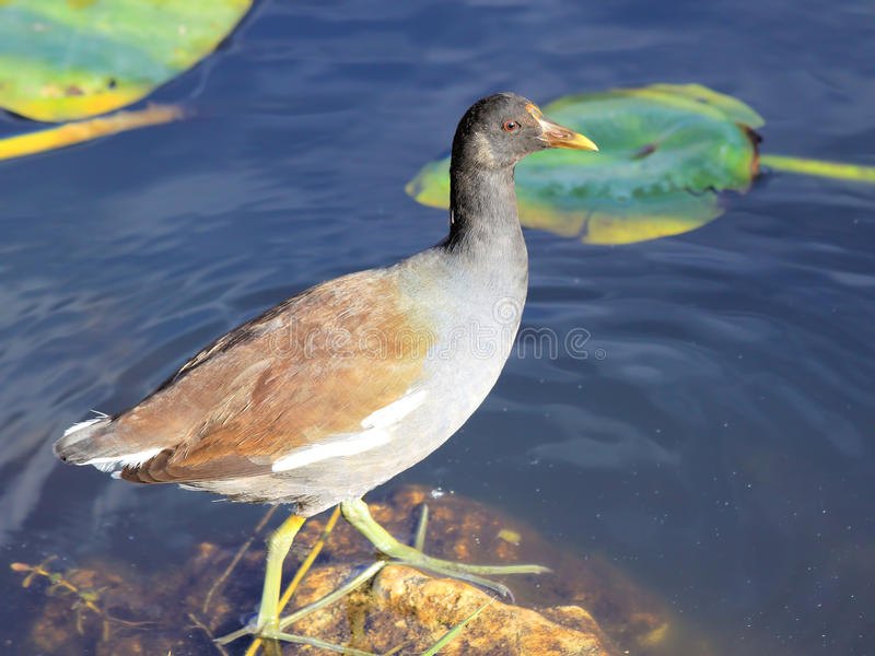 Download Female Common Moorhen stock image. Image of finger, feather - 17877893