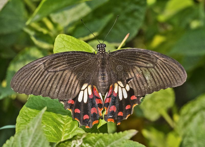 Female of Common Mormon Butterfly. Common mormon butterfly with wing span in daylight in natural background stock images