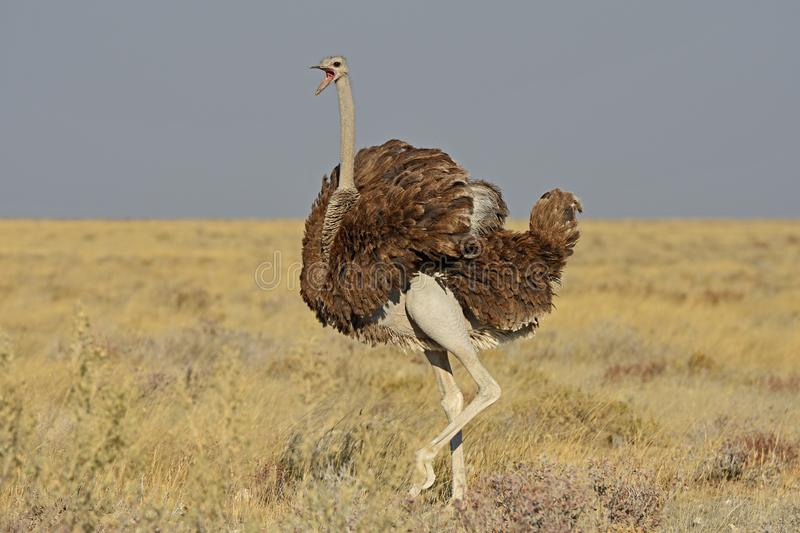 Common ostrich struthio camelus in the Etosha national park. A female common ostrich struthio camelus in the Savannah of the Etosha national park in Namibia royalty free stock photography