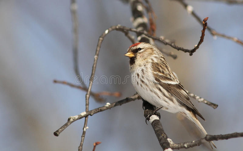 Download Female Common Redpoll stock image. Image of perched, feathered - 18395087