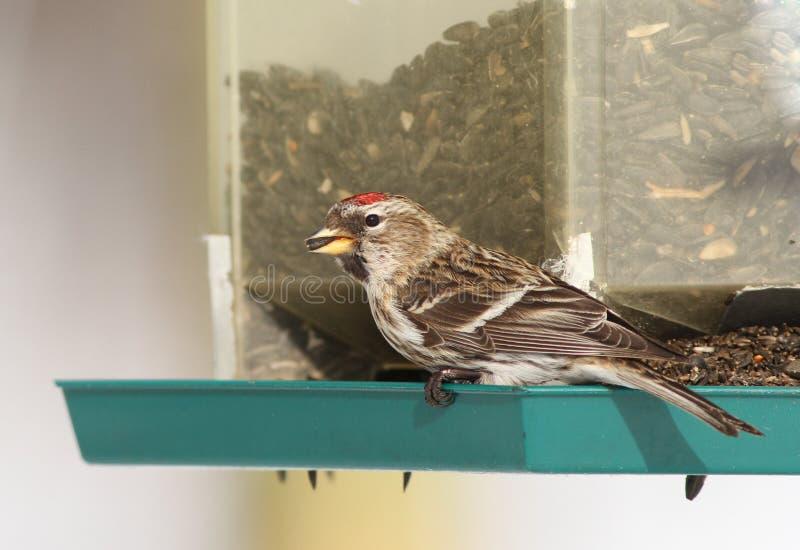 Download Female Common Redpoll stock photo. Image of female, quebec - 18395128