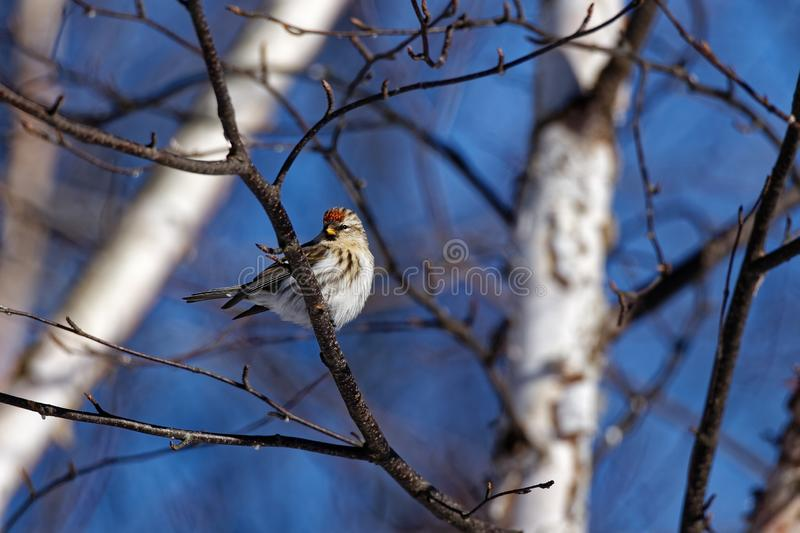 Common Redpoll in a Tree. A female Common Redpoll sits in a tree. These small songbirds can be found in Canada and the upper United States royalty free stock photography