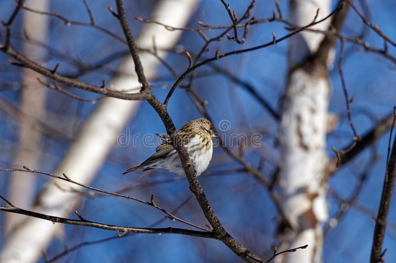 Common Redpoll in a Tree. A female Common Redpoll sits in a tree. These small songbirds can be found in Canada and the upper United States stock images
