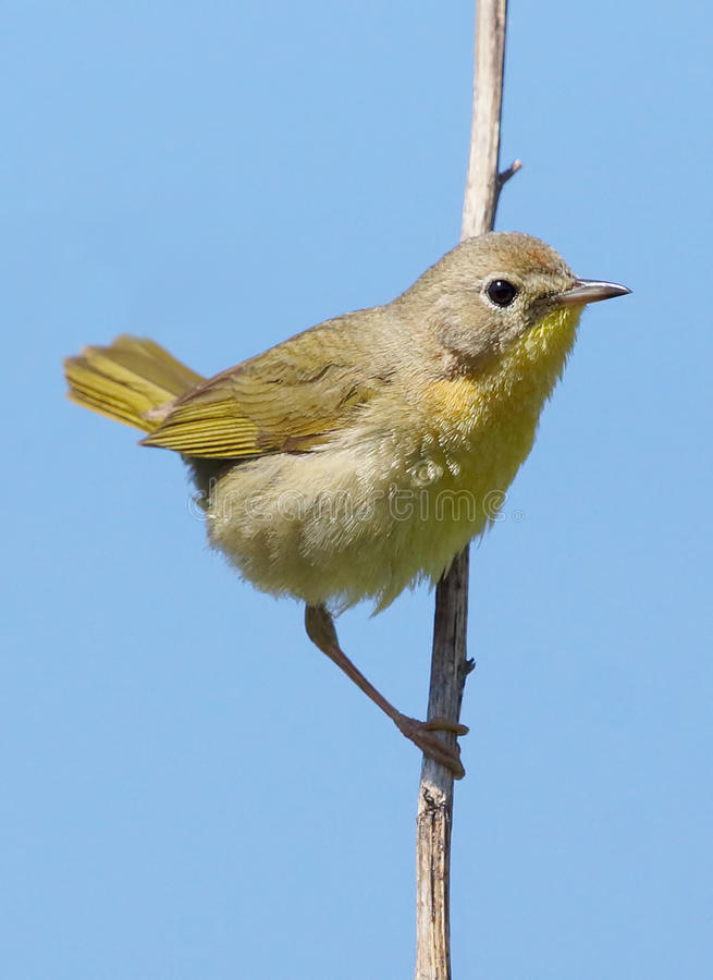 Free Female Common Yellowthroat - Geothlypis Trichas Royalty Free Stock Photography - 64482977