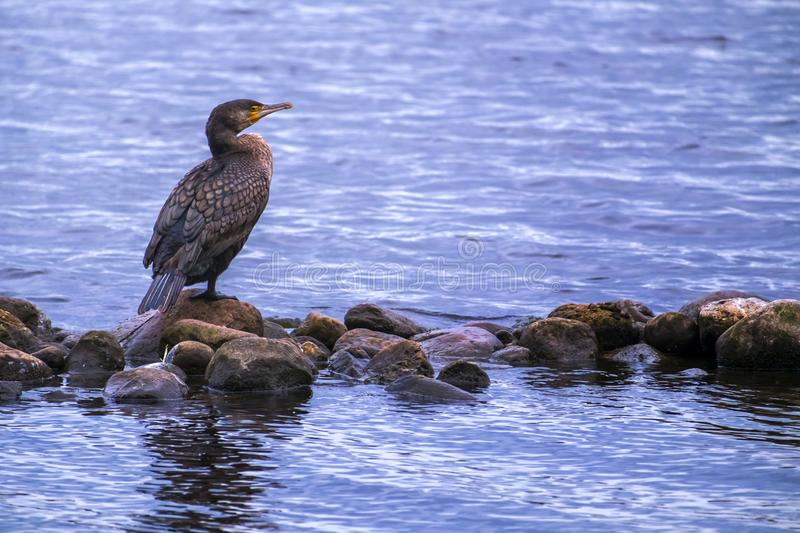 Female Cormorant, Phalacrocorax auritus, on a stone, Hambourg, Germany. Female Cormorant, Phalacrocorax auritus, standing peacefully on a stone on the lake stock photo