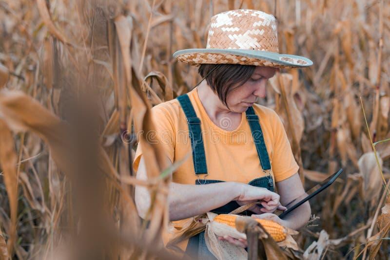 Female corn farmer using digital tablet in cornfield, smart farming royalty free stock photos
