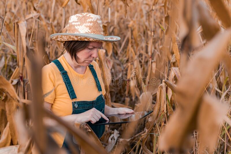 Female corn farmer using digital tablet in cornfield, smart farming stock image