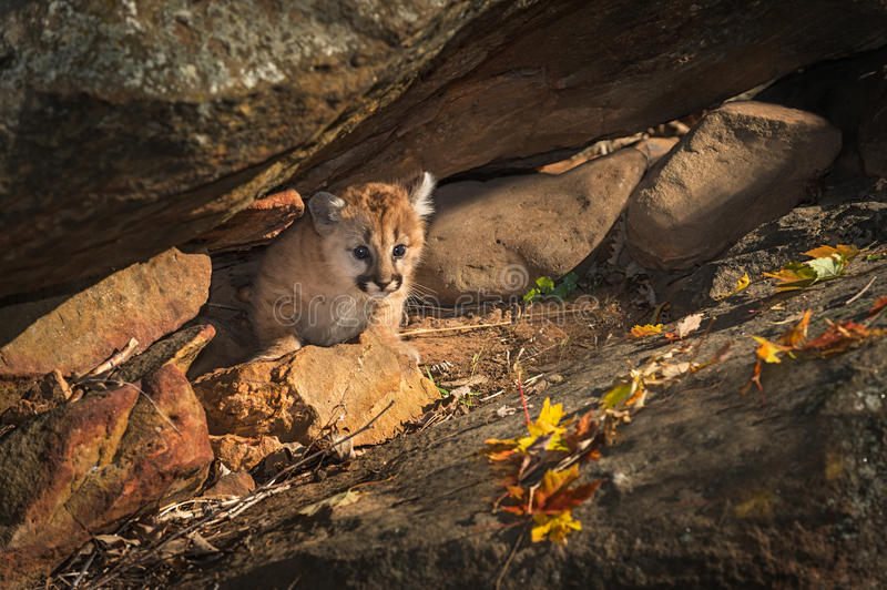 Female Cougar Kitten Puma concolor Creeps Out from Rock Crevic stock photos