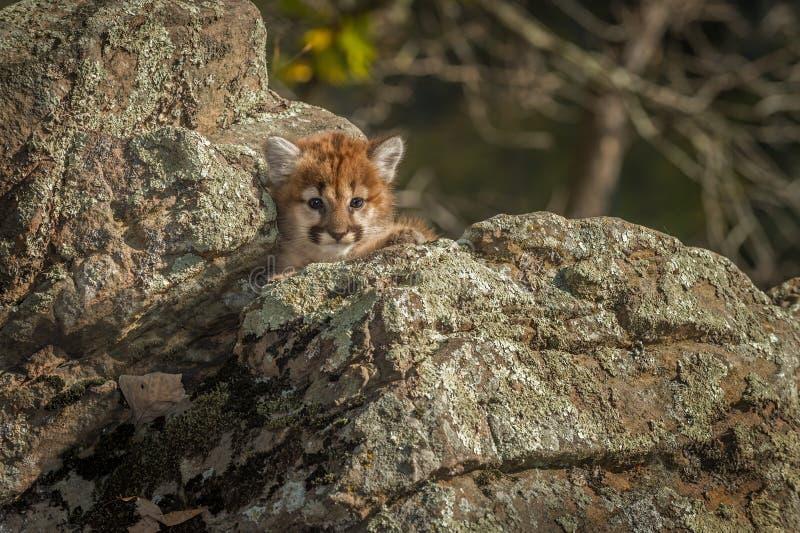 Female Cougar Kitten Puma concolor Nestled in Rocks stock photo