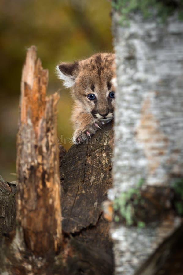 Female Cougar Kitten Puma concolor Peers Around Tree. Captive animal stock image