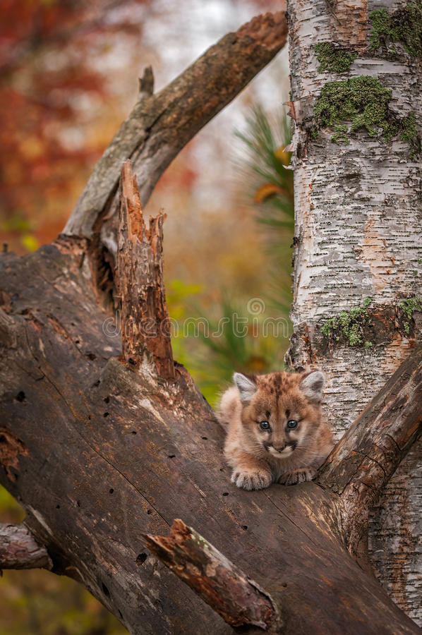 Female Cougar Kitten Puma concolor Sits Alone in Tree. Captive animal royalty free stock photography