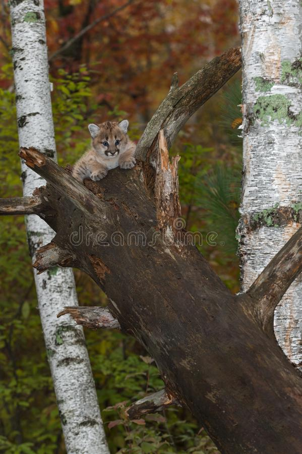 Female Cougar Kitten Puma concolor Sits on Broken Off Tree. Captive animal royalty free stock photography