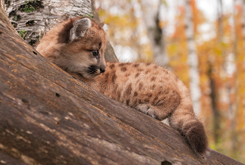 Female Cougar Kitten (Puma concolor) Sits. Captive animal royalty free stock images