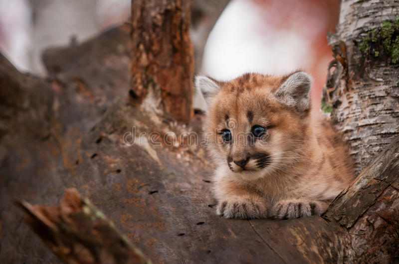 Female Cougar Kitten Puma concolor Sits Comfortably in Tree. Captive animal stock photos