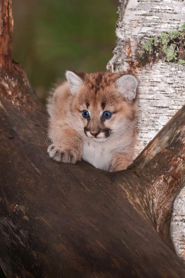 Female Cougar Kitten Puma concolor Sits. Captive animal royalty free stock photo
