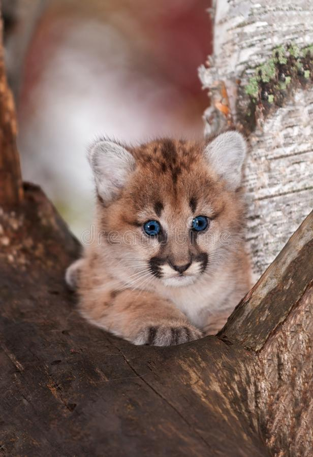 Female Cougar Kitten Puma concolor Sits Paw Forward in Tree. Captive animal stock photo