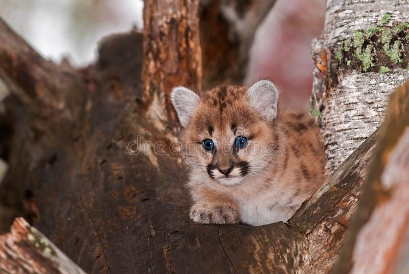 Female Cougar Kitten Puma concolor Sits Relaxed in Tree. Captive animal royalty free stock image