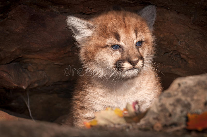 Female Cougar Kitten Puma concolor Sits in Rock Crevice. Captive animal royalty free stock photography