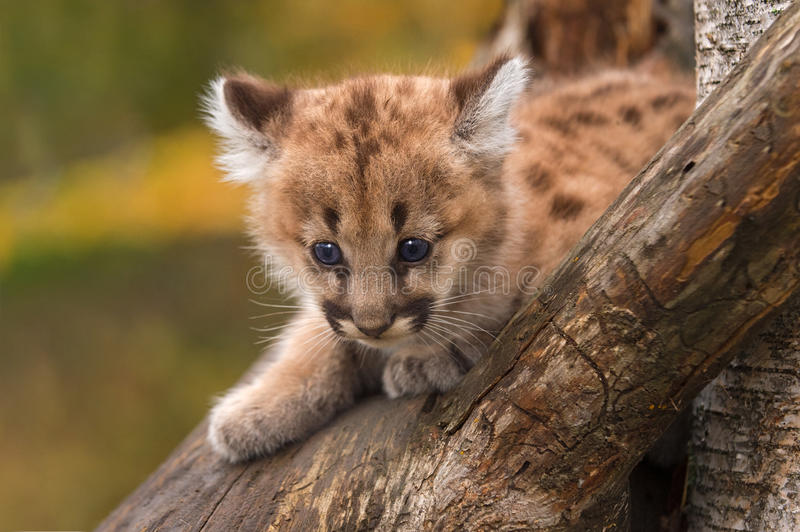 Female Cougar Kitten (Puma concolor) Sits in Tree. Captive animal royalty free stock photography