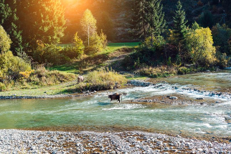 Cow crossed the river. The female cow crossed the river in the mountains stock images