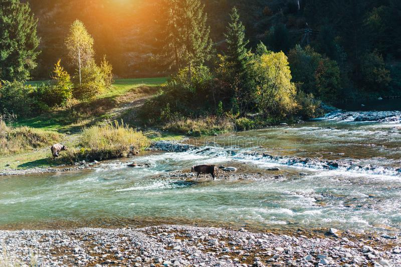 Cow crossed the river. The female cow crossed the river in the mountains royalty free stock image