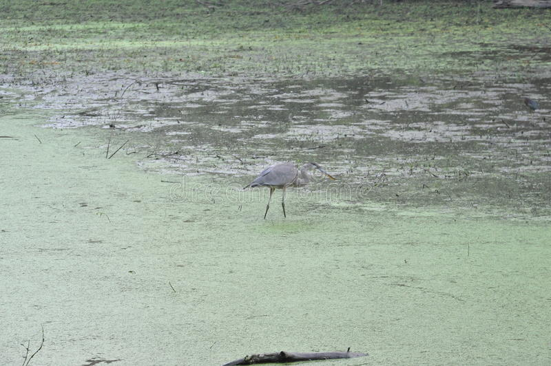 Female crane stands against the green algae stock images