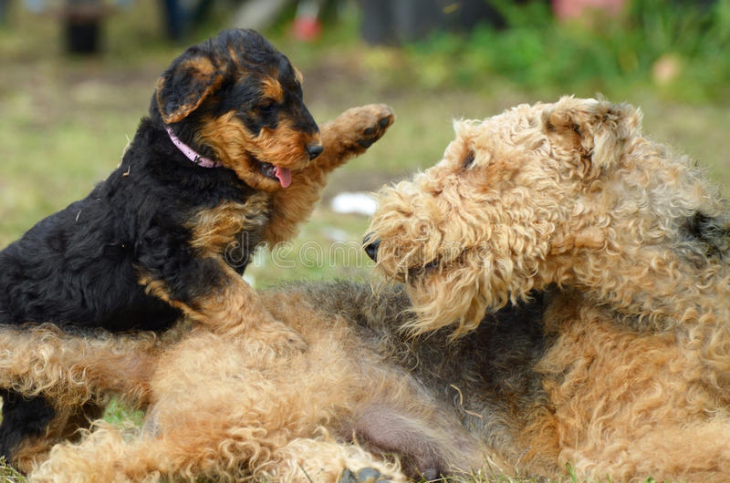 Female dam Airedale Terrier dog playing with her puppy stock photo
