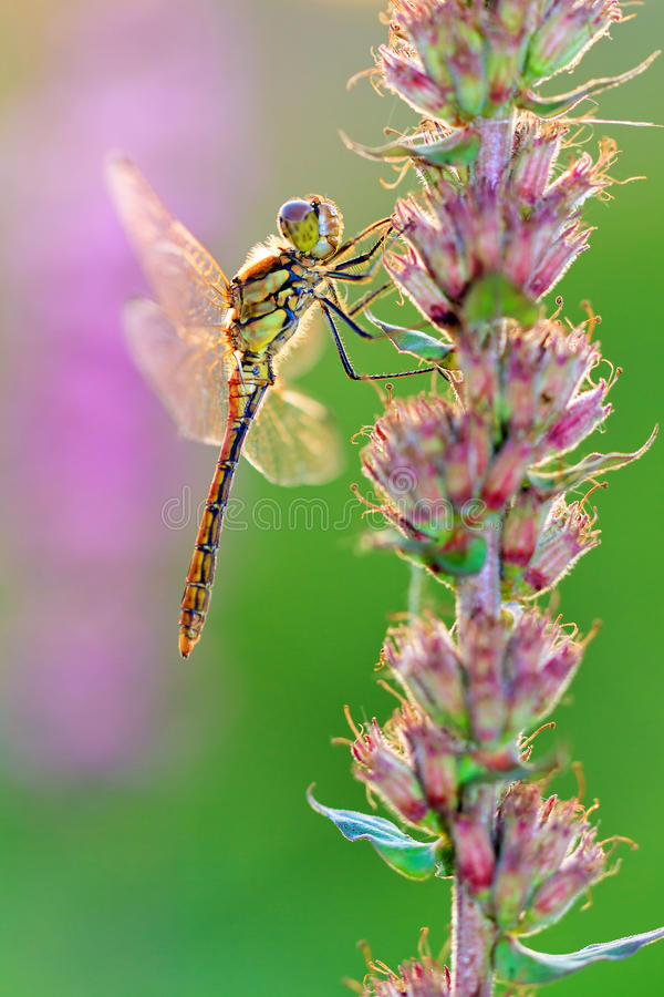 Free Female Darter Royalty Free Stock Images - 40034679