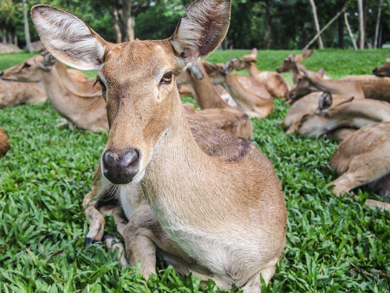 Download Female Deer Stock Images - Image: 25139004