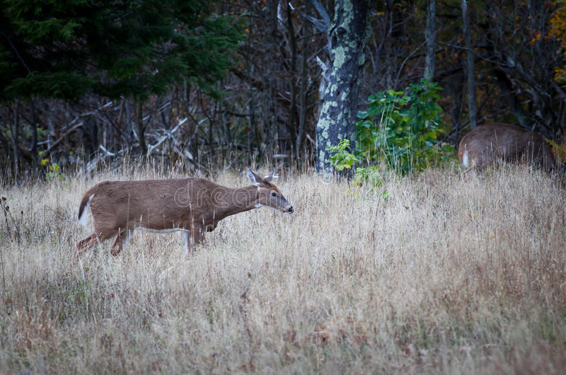 Download Female Deer in the bush stock image. Image of grass, female - 27580581